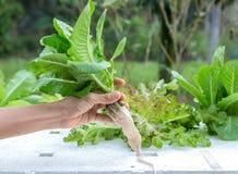 Culture hydroponique - légumes - cos vert image libre de droits