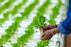 Culture hydroponique, légumes moissonnés frais organiques photos stock