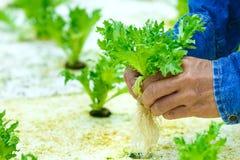 Culture hydroponique, légumes moissonnés frais organiques photo libre de droits