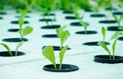 Culture hydroponique végétale Images stock
