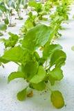 Culture hydroponique végétale Images libres de droits