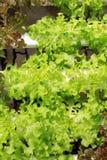 Culture hydroponique végétale Photographie stock libre de droits
