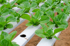 Culture hydroponique végétale dans la ferme Photographie stock