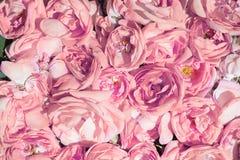 Culture industrielle de Rose contenant de l'huile et de Rose Photo stock