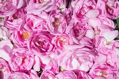 Culture industrielle de Rose contenant de l'huile et de Rose Image stock