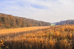 Culture of miscanthus. In Autumn Stock Images