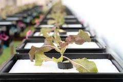 Culture organique fraîche de chêne rouge dans l'agriculture aquaponic ou hydroponique E photographie stock