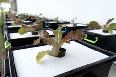 Culture organique fraîche de chêne rouge dans l'agriculture aquaponic ou hydroponique E image stock