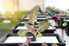 Culture organique fraîche de chêne rouge dans l'agriculture aquaponic ou hydroponique E images stock