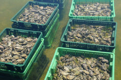 Culture of oyster in Cap Ferret Royalty Free Stock Image