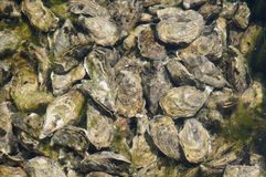 Culture of oyster in Cap Ferret Royalty Free Stock Photos