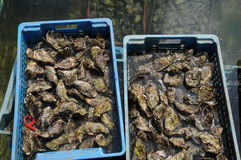 Culture of oyster in Cap Ferret Stock Photos