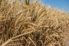 Culture sèche de blé photographie stock
