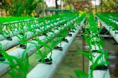 Culture soilless de serre chaude commerciale des légumes photos libres de droits