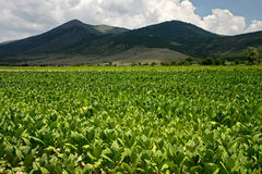 A culture of tobacco. At base of mountain Royalty Free Stock Photography