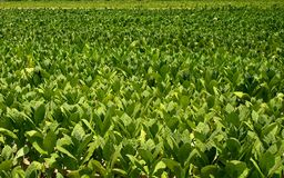 Culture of tobacco. Detaile of a culture of tobacco Royalty Free Stock Photography