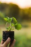 Culture vegetable on plantation. Women culture vegetable on plantation Royalty Free Stock Photography