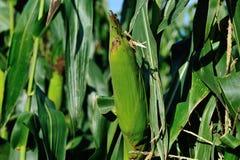 Culture verte de maïs Images stock