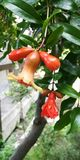 Ripening fruit of pomegranate tree stock images