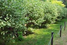Cultured green ficus tree Stock Photos