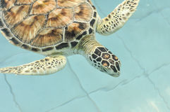 Cultured sea turtle Stock Image
