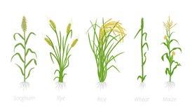 Cultures agricoles de c?r?ale de grain Seigle de sorgho, ma?s de riz et plante de bl? Illustration de vecteur Cereale de s?cale A illustration libre de droits