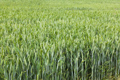 Cultures dans le terrain d'agriculteurs Photographie stock