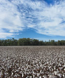 Cultures de coton de l'Alabama - hirsutum de Gossypium photos libres de droits