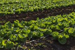 Cultures de laitue dans la plantation Image libre de droits