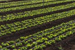 Cultures de laitue dans la plantation Photographie stock libre de droits