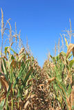 Cultures de maïs Image libre de droits