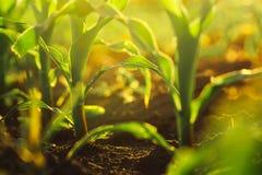 Cultures de maïs dans le coucher du soleil Photos stock