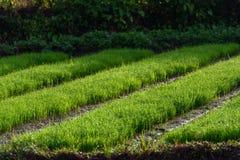Cultures de plantation Image stock