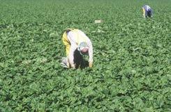 Cultures de récolte de travailleurs migrants en San Joaquin Valley Image stock