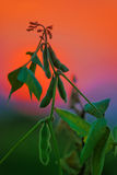 Cultures de soja dans le domaine Images stock