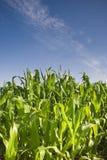 Cultures fraîches de maïs vert Photo stock