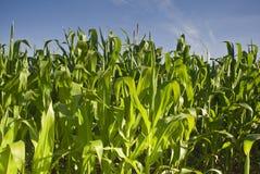 Cultures fraîches de maïs vert Photos libres de droits
