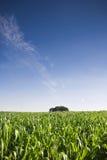 Cultures fraîches de maïs vert Photo libre de droits