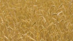 Cultures mobiles de vent de champ de blé de mouvement lent, oreilles jaunes dans la chute d'automne, fertilité banque de vidéos