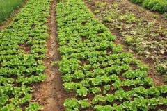 Cultures vertes de laitue dans la croissance Images libres de droits