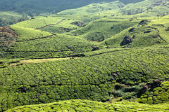 Culturing tea, plantations Stock Photo