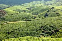 Culturing tea, plantations Stock Photo
