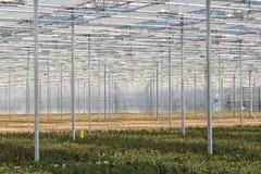 Cultuur van fuchsia in een Nederlandse serre Royalty-vrije Stock Foto