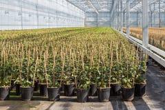 Cultuur van fuchsia tot bamboekader wordt gebonden in een Nederlandse serre die Stock Foto