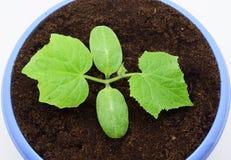 Cultuur van komkommerspruiten Stock Foto's