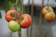 Cultuur van tomaten Stock Fotografie
