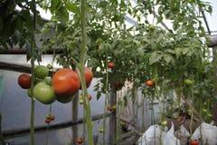 Cultuur van tomaten Stock Foto