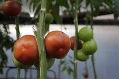 Cultuur van tomaten Stock Afbeeldingen