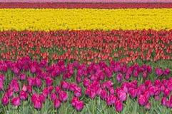 Cultuur van tulpen voor het produceren van tulpenbollen Royalty-vrije Stock Foto's