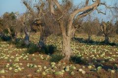 Cultuur van watermeloenen onder olijfbomen Royalty-vrije Stock Fotografie